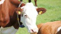 Na slovenských jatkách se porážely pošlé, hnijící a nemocné krávy - anotační foto
