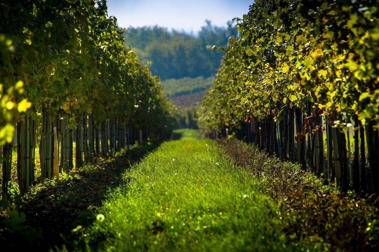 Mráz spálil moravské vinice. Škody dosahují miliardy korun - anotační obrázek