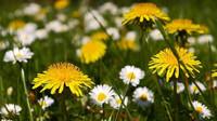 Pampelišky a sedmikrásky pro jarní detox, kopřivy také dokážou divy aneb Bylinky našich prababiček - anotační obrázek