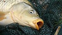 Bude předvánoční prodej ryb osvobozen od elektronické evidence tržeb? - anotační obrázek