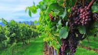 EK podpoří vinaře, kterým kvůli koronaviru klesla poptávka - anotační obrázek