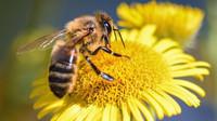 Včelám ubývá obživa, upozorňuje Mendelova univerzita - anotační obrázek