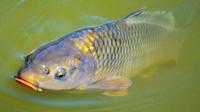 Kapří herpes viróza: Kvůli viru rybáři v Praze utratili na 12 tun ryb - anotační obrázek