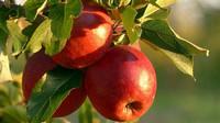 Ceny jablek stouply na rekordních téměř 50 korun za kilogram - anotační obrázek