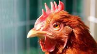 Ptačí chřipka se po třech letech vrátila do Česka - anotační obrázek