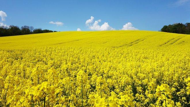 Test řepkových olejů: Škodí nám, nebo je zdravý? - anotační obrázek