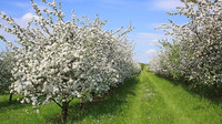 Po nadprůměrně teplé zimě bude v sadech více škůdců, ovocnáři se bojí mrazů - anotační obrázek