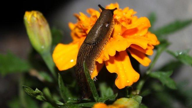 Zahrady letos požírají přemnožení slimáci. Jak se jich účinně zbavit? - anotační obrázek