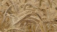 Hraboši místy poškodili až 90 procent úrody, zemědělci volají po jedu - anotační obrázek