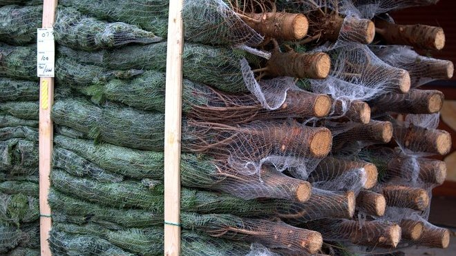 Ceny vánočních stromků zůstanou nebo se sníží - anotační obrázek